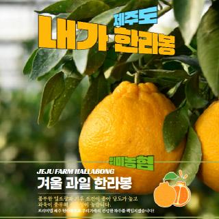 위미농협 문주왕 한라봉 3kg(9-11과)