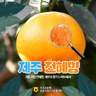 서귀포농협 천혜향 3.5kg(가정용/12내)