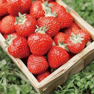 [농사랑]은기농장 설향딸기 특 850g (33알내외)