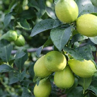 무농약 제주 레몬 1kg~5kg