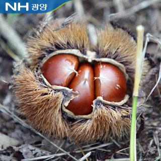 광양진상농협 햇밤 4kg(특/대/중 택1)