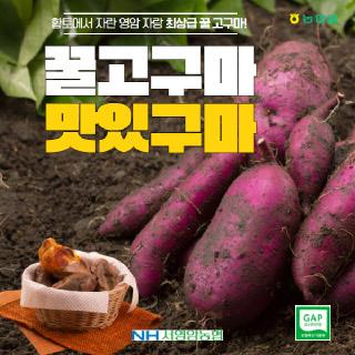 서영암농협 황토 꿀고구마 특품,5kg(개당중량 100g~260g미만)