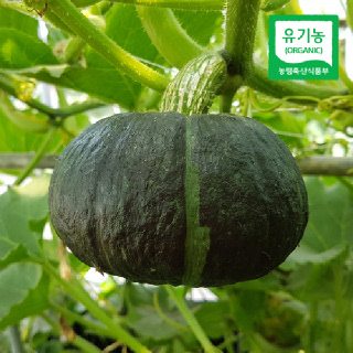 [산지직송] 함평 유기농 미니 단호박(밤호박) 1kg/2kg