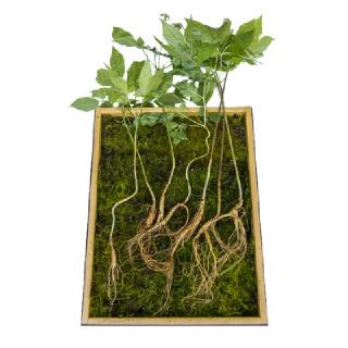 산양삼 7뿌리(9~10년근)