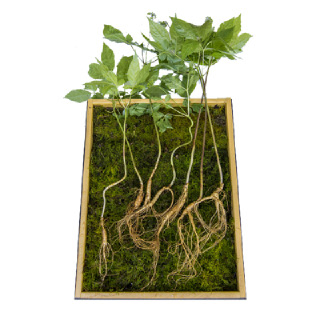 산양삼 7뿌리(10~12년근)
