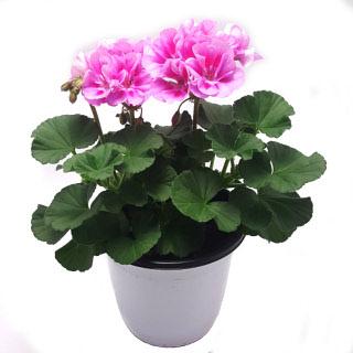 제라늄 페라고늄 4계절 꽃피는 식물