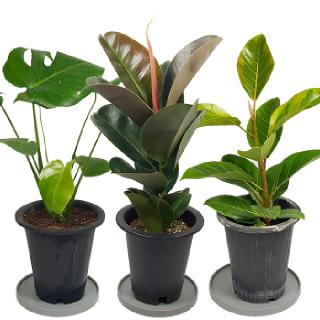 <1+1> 실내에서 키우기 쉬운 대형 공기정화식물